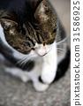 動物 貓咪 貓 31586925