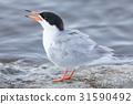 Common Tern (Sterna hirundo) Adult Calling 31590492