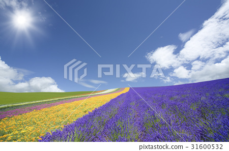 Lavender fields and clouds and sun 31600532