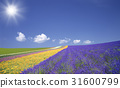 Lavender fields and clouds and sun 31600799