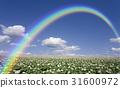 감자 밭 감자 꽃과 구름과 무지개 31600972
