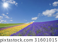 Lavender fields and clouds and sun 31601015