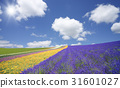 Lavender fields and clouds and sun 31601027