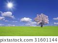 초원의 벚꽃 나무와 구름 31601144
