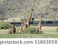 長頸鹿 坦桑尼亞聯合共和國 非洲 31603656