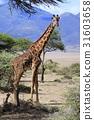 長頸鹿 熱帶大草原 薩凡納 31603658
