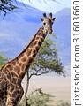 長頸鹿 坦桑尼亞聯合共和國 熱帶大草原 31603660