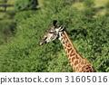 長頸鹿 坦桑尼亞聯合共和國 非洲 31605016