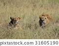 獅子 雄性 女性 31605190