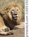 獅子 雄性 坦桑尼亞 31605192