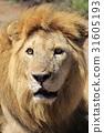 獅子 雄性 坦桑尼亞 31605193