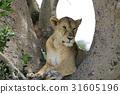 獅子 爬在樹上 女性 31605196