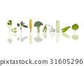 콩, 잎, 쑥갓 31605296