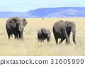 非洲象 大象 坦桑尼亞聯合共和國 31605999
