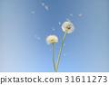 蒲公英種子在風中飛舞 31611273