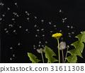 蒲公英種子由夜空中的風攜帶 31611308