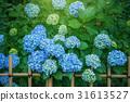 绣球花在花园里 31613527