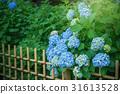 绣球花在花园里 31613528