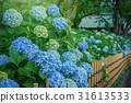 绣球花在花园里 31613533