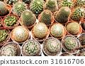cactus plant desert 31616706