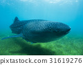 상어, 물고기, 고래 상어 31619276