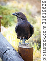 Common Raven sitting on a wooden beam, close up 31619629