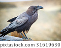 Common Raven sitting on a wooden beam, close up 31619630