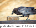 Common Raven sitting on a wooden beam, close up 31619633