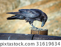 Common Raven sitting on a wooden beam, close up 31619634