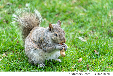 Eastern Gray Squirrel eating a peanut in Montreal 31621076