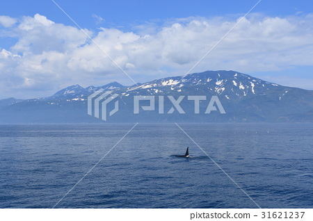 killer whale, orca, sea of okhotsk 31621237