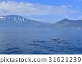 killer, whale, orca 31621239