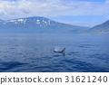 killer, whale, orca 31621240