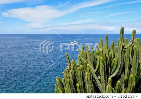 Canary Island Spurge by the Sea. Canary Island. 31621557
