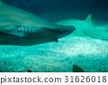 beautiful shark swim in the water 31626018