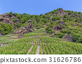 Vines in Gondorf on the Mosel in summer 31626786