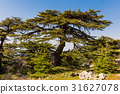 trees of Al Shouf Cedar Nature Reserve Barouk 31627078