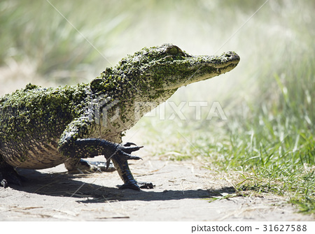 Young American Alligator 31627588