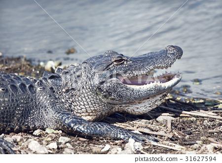 Young alligator basking 31627594