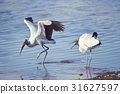 Two  wood storks fighting 31627597