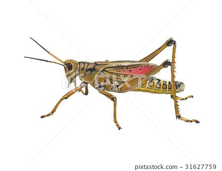Southeastern Lubber Grasshopper watercolor 31627759
