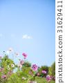 大波斯菊 大波斯菊田地 花園 31629411