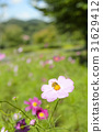 大波斯菊 大波斯菊田地 花園 31629412