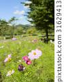 大波斯菊 大波斯菊田地 花園 31629413