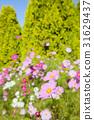 大波斯菊 大波斯菊田地 花園 31629437