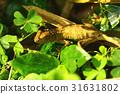 蜥蜴 有鱗目 蜥蜴亞目 31631802