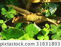 蜥蜴 31631803