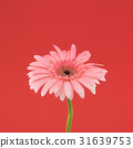 Pink Gebera flower on red background 31639753