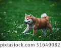 Japanease dog shiba inu running on the grass 31640082