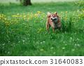 Japanease dog shiba inu  on the grass 31640083